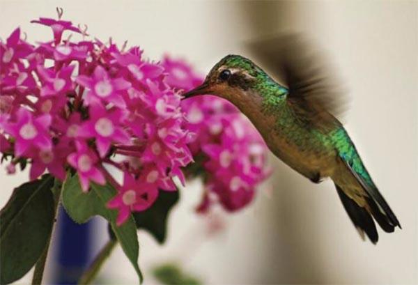 beija-flor voando